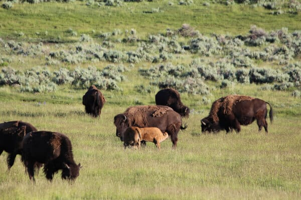 Buffalo calf in Lamar Valley, Yellowstone